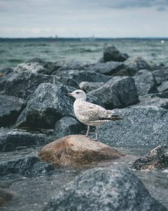 Timmendorfer-Strand-seagull